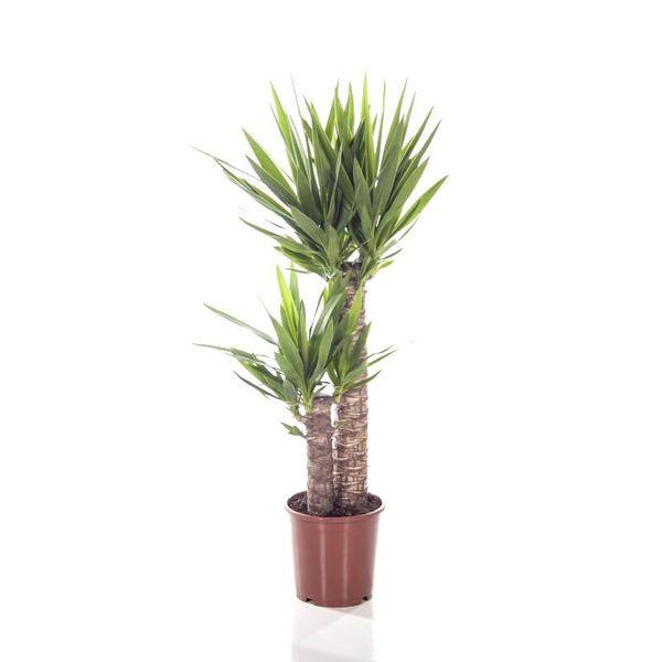 Yucca Elephantipes Palmlelie toef medium