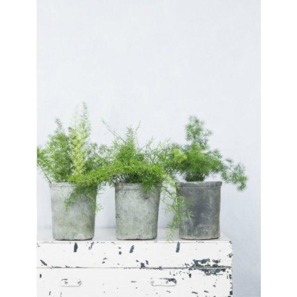 Asparagus Setaceus Plumoses Medium