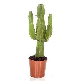 Fleur.nl - Cactus Euphorbia medium