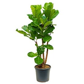 Fleur.nl - Ficus Lyrata vertakt Large