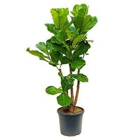 Fleur.nl - Ficus Lyrata vertakt