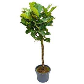 Fleur.nl - Ficus Lyrata op stam