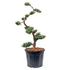 Fleur.nl - Juniperus chinensis 'Blue Alps' Bonsai 160 cm