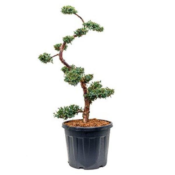 Juniperus chinensis 'Blue Alps' Bonsai 160 cm