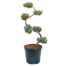 Fleur.nl - Juniperus squamata 'Blue Carpet' Bonsai