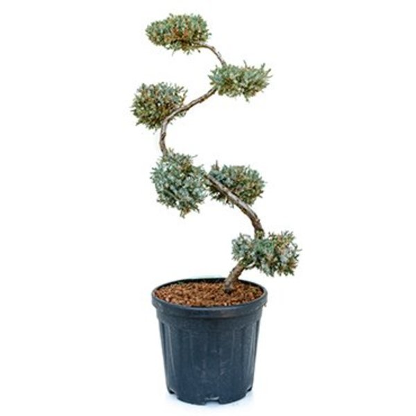 Juniperus squamata 'Blue Carpet' Bonsai