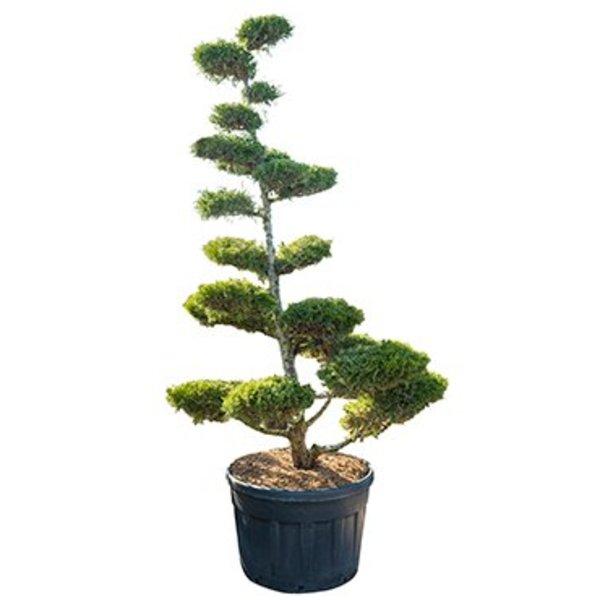 Juniperus chinensis 'Kuriwao Gold' Bonsai