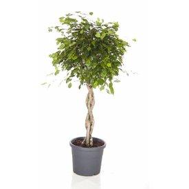 Fleur.nl - Ficus Exotica Benjamina gevlochten stam medium