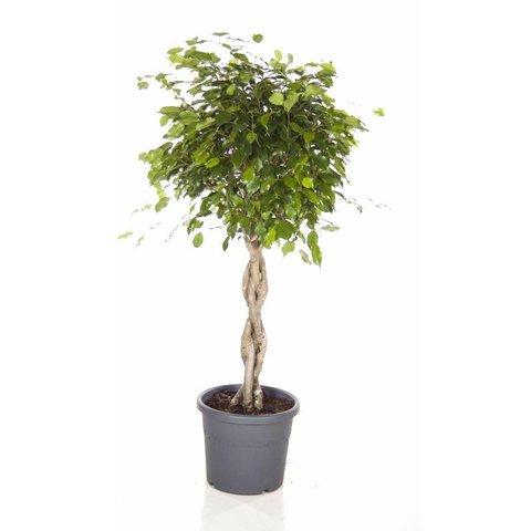 Ficus Exotica Benjamina gevlochten stam medium
