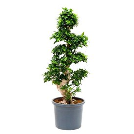 Fleur.nl - Ficus Bonsai S-vorm 3XL