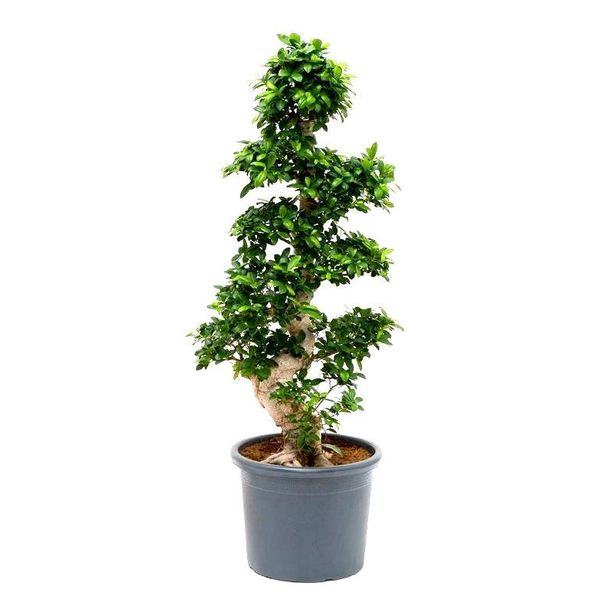 Ficus Bonsai S-Vorm 3XL