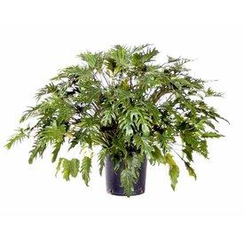 Fleur.nl - Philodendron Xanadu Bush Large