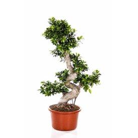 Fleur.nl - Ficus Bonsai S-vorm Large