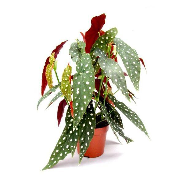 Begonia Maculata stippenplant