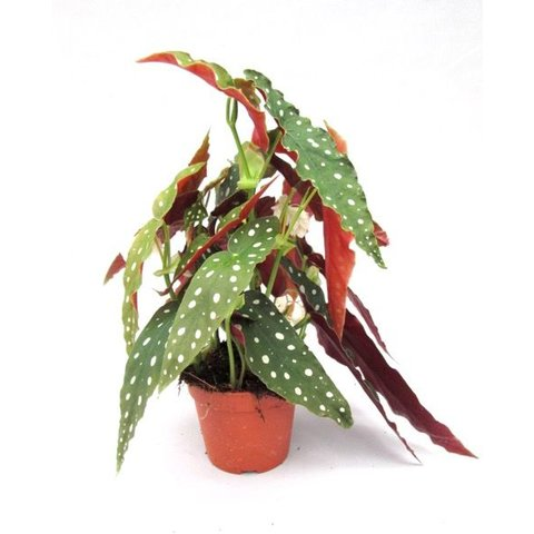 Begonia Maculata Small