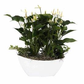 Fleur.nl - Anthurium Wit in schaal large