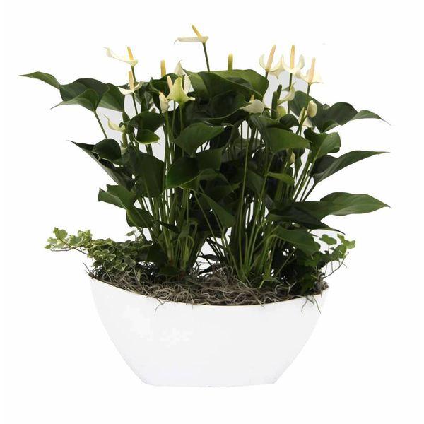 Anthurium Wit in schaal large