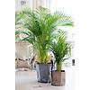 Palm Areca Lutescens 3XL