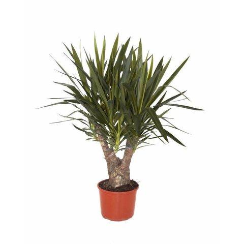 Yucca Elephantipes Large Eenvoudig En Snel Online Bestellen Fleur