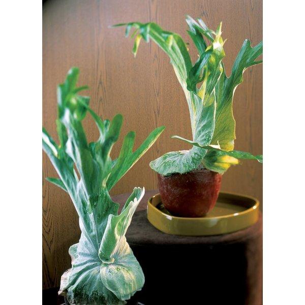 Hertshoornvaren - Platycerium Bifurcatum Hangplant