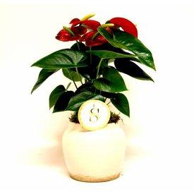 Fleur.nl - Anthurium rood in pot Rome