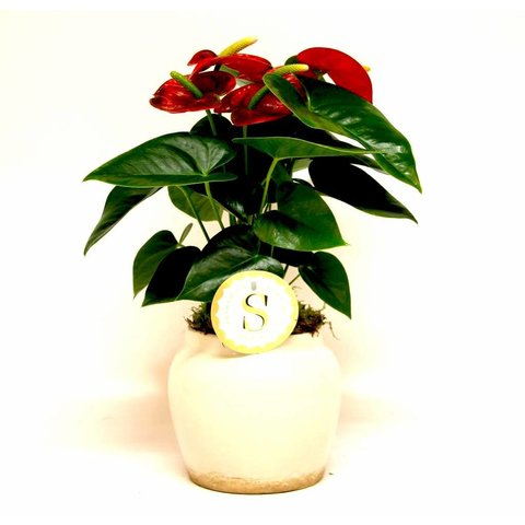 Anthurium rood in pot Rome