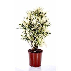 Fleur.nl - Croton struik mrs Iceton medium