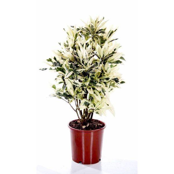 Croton struik mrs Iceton tamara medium