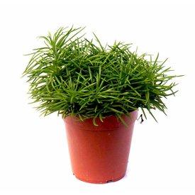 Fleur.nl - Vetplant Himalaya Senecio