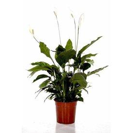 Fleur.nl - Spathiphyllum Large