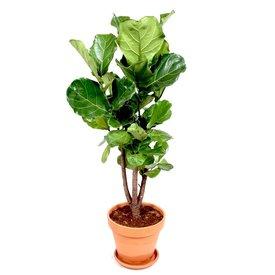 Fleur.nl - Ficus Lyrata vertakt in terracotta