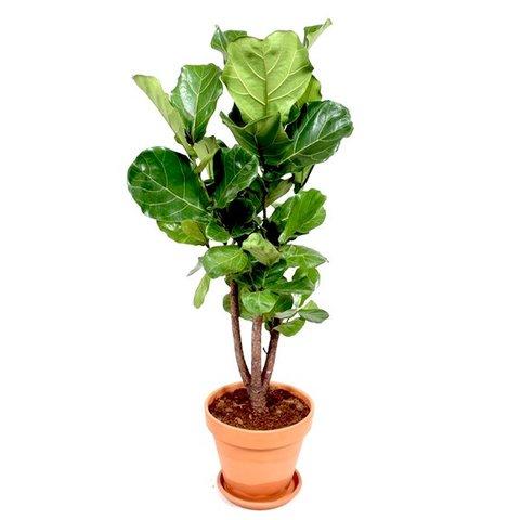Ficus Lyrata vertakt in terracotta