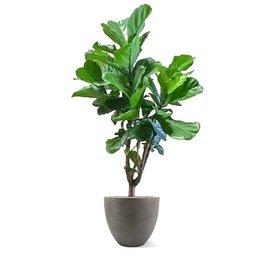 Fleur.nl - Ficus Lyrata vertakt in pot