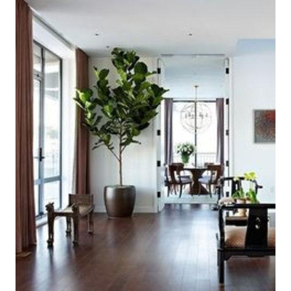 Ficus Lyrata vertakt in pot