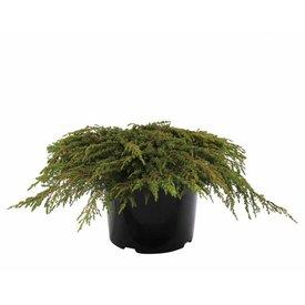 Fleur.nl - Juniperus communis 'Green Carpet'