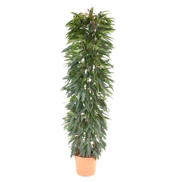 Ficus Alli Queen Zuil XXL