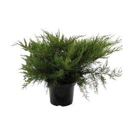 Fleur.nl - Juniperus pfitzeriana 'Mint Julep'