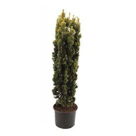 Fleur.nl - Taxus baccata 'Fastigiata Aurea'