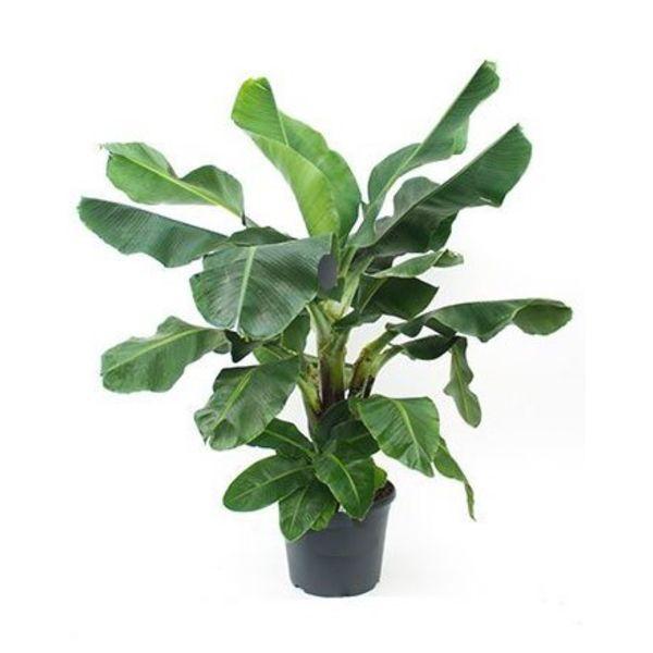 Bananenplant musa XL