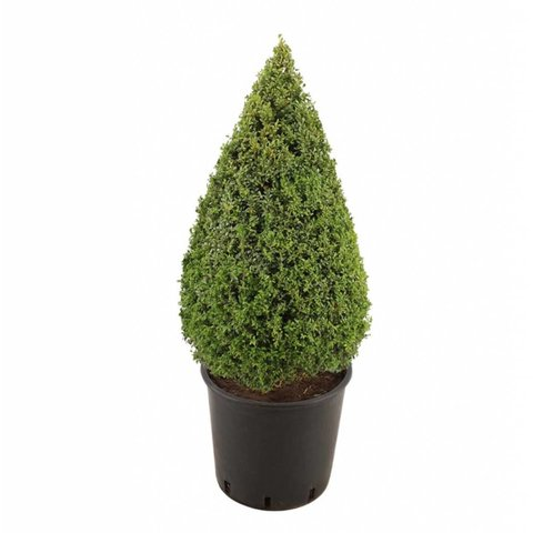 Buxus sempervirens piramide - 120-130 cm
