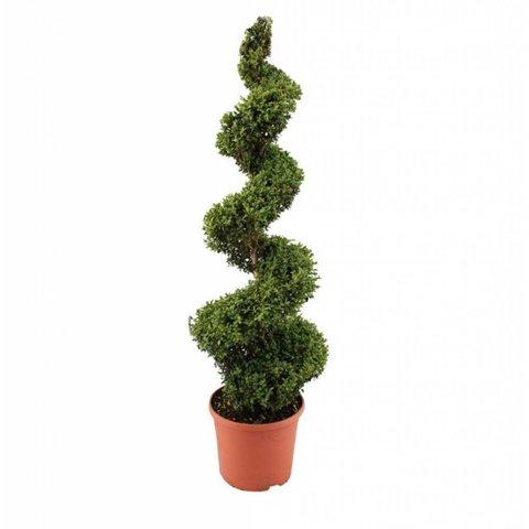 Buxus sempervirens spiraal - 120-130 cm