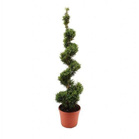 Buxus sempervirens spiraal - 140-150 cm