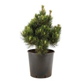 Fleur.nl - Pinus heldreichii 'Malinki'