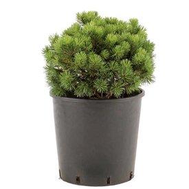 Fleur.nl - Pinus mugo 'Mops'