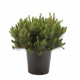 Fleur.nl - Pinus mugo 'Mughus'