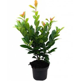 Fleur.nl - Prunus laurocerasus 'Antonius' ®