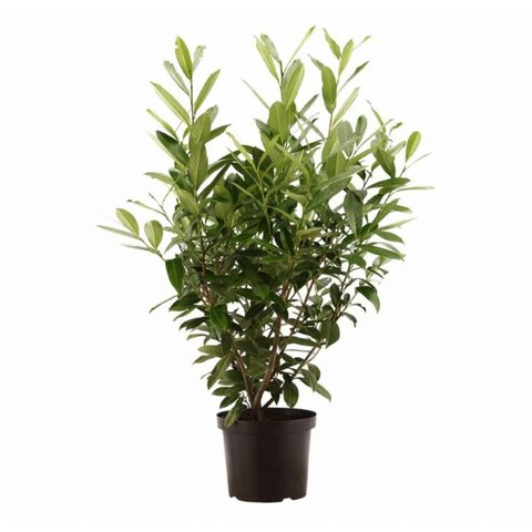 Prunus laurocerasus 'Caucasica'