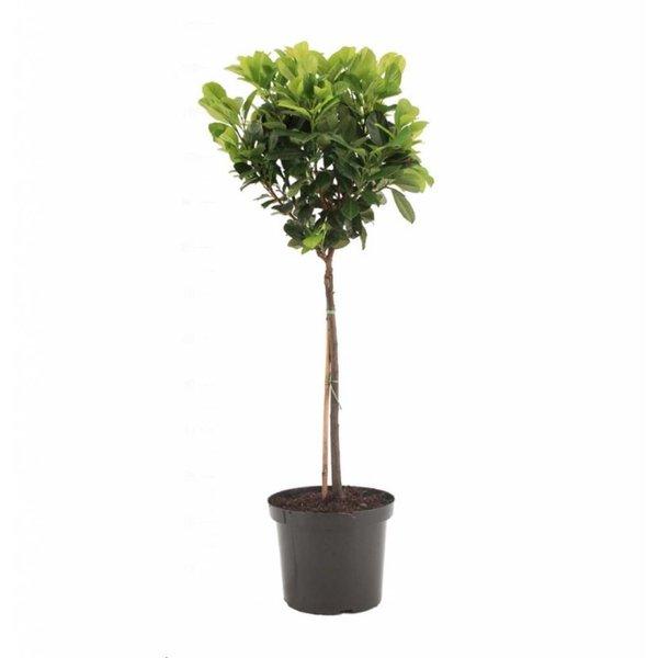 Prunus laurocerasus 'Etna'