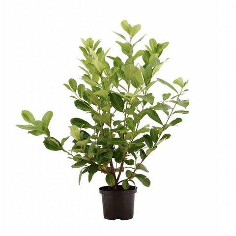 Prunus laurocerasus 'Rotundifolia'