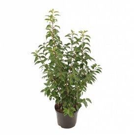 Fleur.nl - Prunus lusitanica 'Angustifolia' Portugese laurierhaag